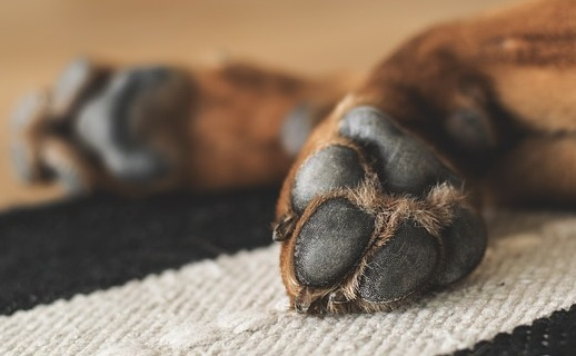 Dog Is Limping Effect Of Paw Injuries On Dogs Gait Full Stride