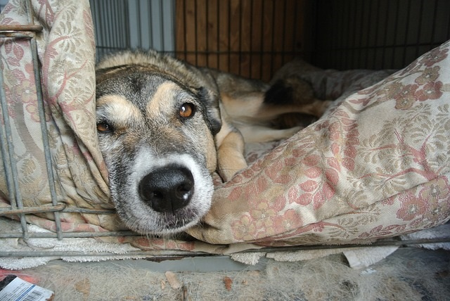 Muscle injury in dogs. Is rest enough to restore muscle strength