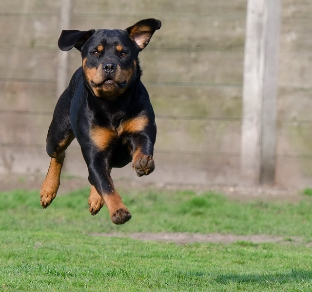 Canine gait