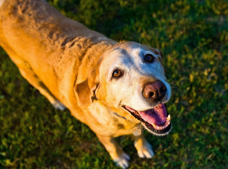 Muscle wasting in old dogs