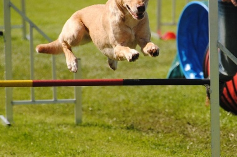 Shoulder injuries in dogs, agility